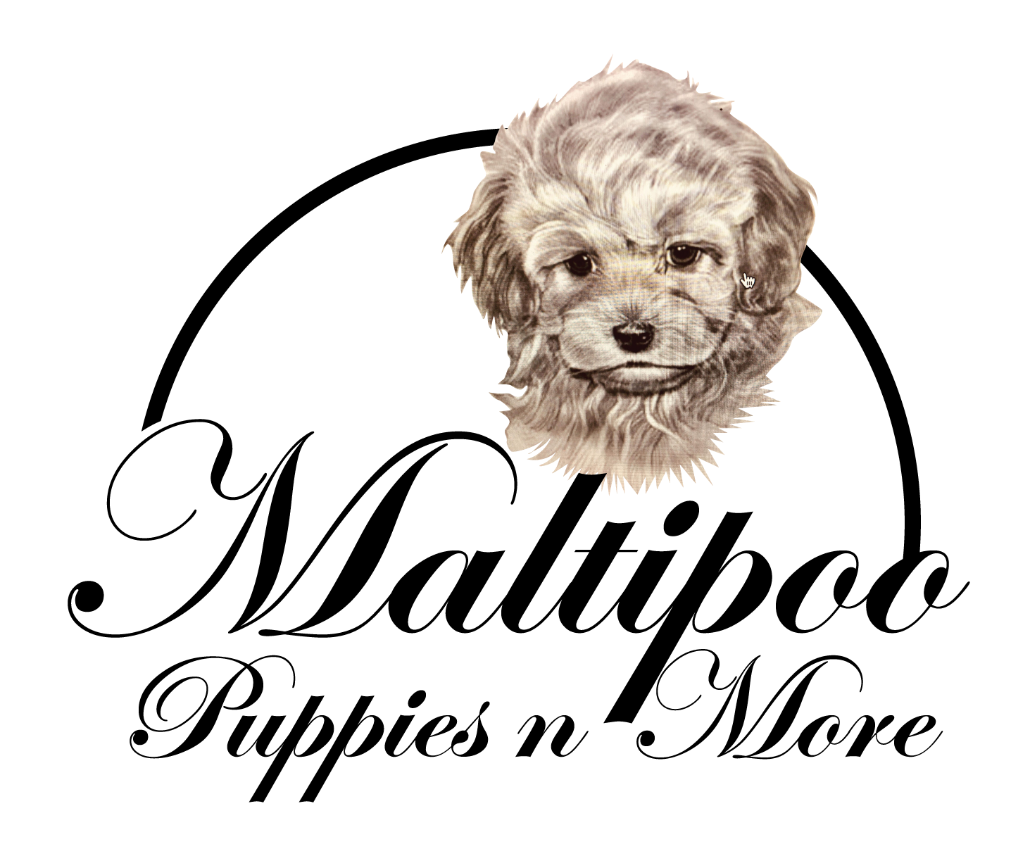 Temperment And Care Maltipoo Puppies N More