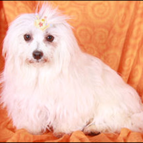 maltese_female1